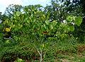 Cercis chinensis Jardin d'Agronomie Tropicale.JPG