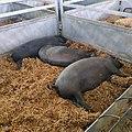 Cerdos ibéricos en la Feria de Zafra, Badajoz (2019).jpg