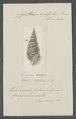 Cerithium vulgatum - - Print - Iconographia Zoologica - Special Collections University of Amsterdam - UBAINV0274 083 05 0012.tif