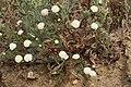 Chaenactis fremontii 7732.JPG