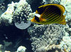 Chaetodon fasciatus, Dahad, Red Sea - 20030524
