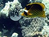 Un pesce farfalla fasciato mentre si nutre di un frammento di medusa