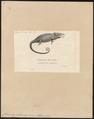 Chamaeleo bifurcus - 1700-1880 - Print - Iconographia Zoologica - Special Collections University of Amsterdam - UBA01 IZ12300051.tif