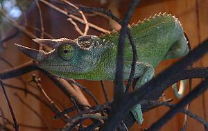 Jackson's chameleon - A Jackson's chameleon at the Wellington Zoo