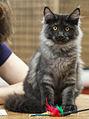 Chamberlain Quinn The Mighty (Varjo) MCO ns male kitten EX1 BIV NOM.JPG