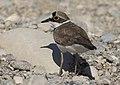Charadrius dubius - Little ringed plover 09.jpg