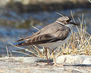 Long-billed plover Species of bird