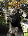 Charlton Dane a Blue Great Dane.jpg