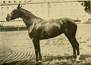 Charolais horse
