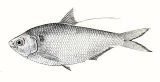 <i>Nematalosa nasus</i> species of fish