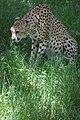 Cheetah (7613092488).jpg