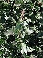 Chenopodium album az.jpg