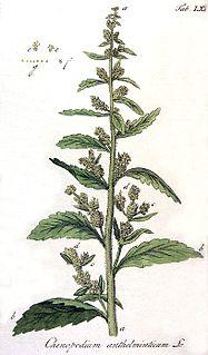 <i>Dysphania</i> (plant) genus of plants