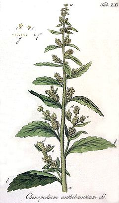 Chenopodium anthelminticum Ypey60.jpg