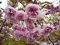Cherry Blossom - geograph.org.uk - 418920.jpg