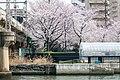 Cherry blossom Osaka Loop Line Sakuranomiya 03-27-2018 (39425302320).jpg