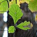 Chestnut Oak (31075567835).jpg