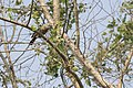 Chestnut Tailed Starling In Branches.jpg