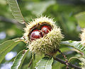 120px Chestnuts