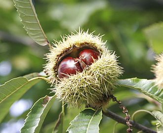Castanea sativa - Sweet chestnut fruit