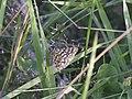 Chiasmia clathrata (Geometridae) (11498621096).jpg