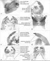 Chilopoda anatomy 17–24.jpg