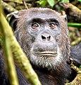 Chimpanzee, Kibale, Uganda (15936748633).jpg