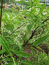 Chionanthus pygmaeus USBG