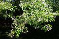 Chionanthus retusus - Arnold Arboretum - DSC06755.JPG