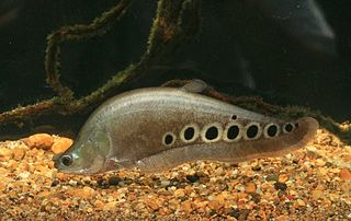 Notopteridae family of fishes