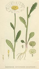Margaréta biela (Leucanthemum vulgare)