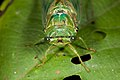 Cicada from Ecuador (17094971343).jpg