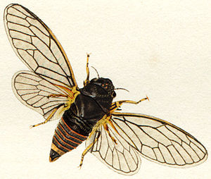 Cicadetta montana - Cicadetta Montana  female
