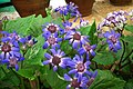 Cineraria at lalbagh7318.JPG