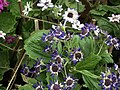 Cineraria from Lalbagh flower show Aug 2013 8221.JPG