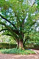 Cinnamomum camphora - Quinta das Lágrimas - Coimbra, Portugal - DSC08714.jpg