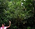 Cinnamomum tamala W IMG 2434.jpg