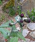 Cirsium waldsteinii 2016-05-09 0012.jpg