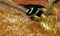 Clark's Anemonefish (Amphiprion clarkii) (8477503552).jpg