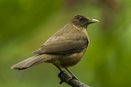 Clay-colored Thrush - Panama H8O8602 (17234340141).jpg