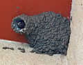 Cliff Swallow nest.jpg