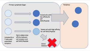 Clonal deletion - A visual representation of the process of clonal deletion in the primary lymphoid organs