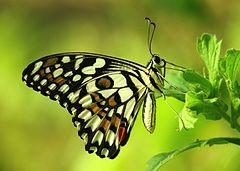 240px close wing position of papilio demoleus, linnaeus, 1758 %e2%80%93 lime butterfly wlb