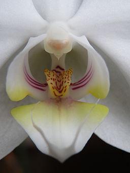 Closeup of the blossom of a Phalaenopsis