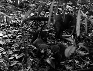 Nasua - Three infant coatis with their mother