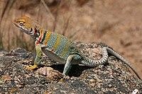 Un lagarto gris con marcas marrones y amarillo-naranja de pie sobre una roca bajo un sol brillante.