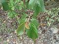 Colubrina arborescens.JPG