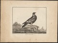 Columba livia - 1767 - Print - Iconographia Zoologica - Special Collections University of Amsterdam - UBA01 IZ18900113.tif