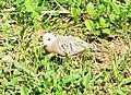 Columbina passerina (Columbidae).jpg