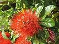 Combretum constrictum - Powderpuff Combretum 2014 (21).jpg